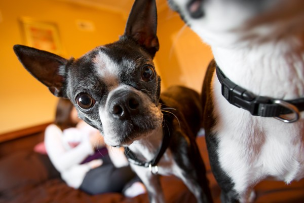 j.ro photography | Daily Dog Tag | Boston-Terriers-and-newborn-session