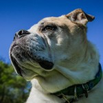 Adopt Knuckles from Dog House Adoptions, Troy, NY