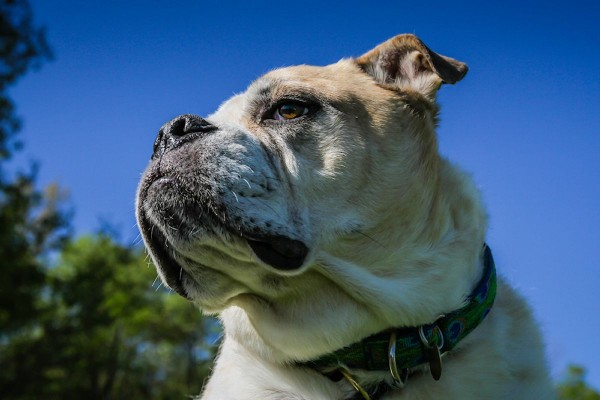 Adopt Knuckles from Dog House Adoptions, Troy, NY, Old English Bulldog