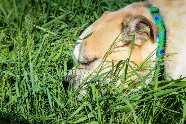 Adopt Knuckles from Dog House Adoptions, Troy, NY, dog sleeping in grass