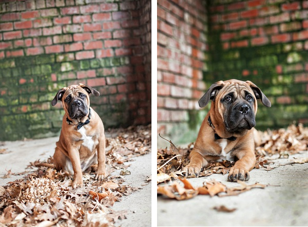 © Paw Prints | Pet Portraits by Charlene | Daily Dog Tag |  Bullmastiff puppy-portraits-western-PA