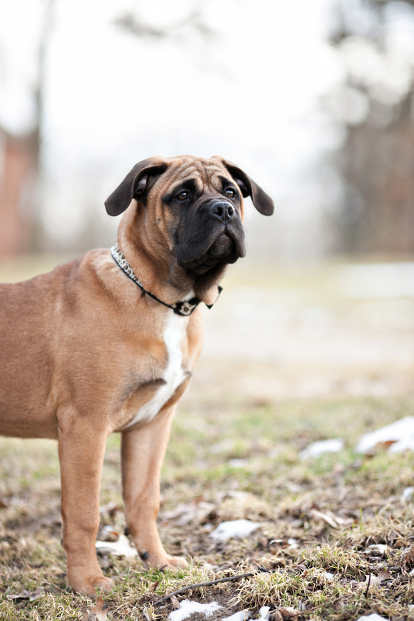 © Paw Prints | Pet Portraits by Charlene | Daily Dog Tag |  Bullmastiff puppy