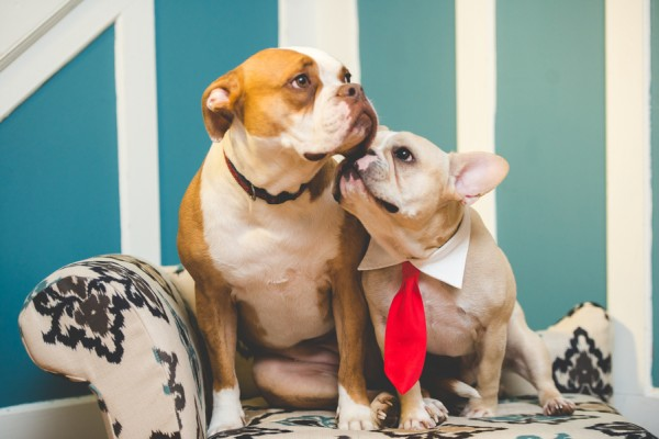 © BG Productions | Daily Dog Tag | Frenchie-kissing-Boxer-mix