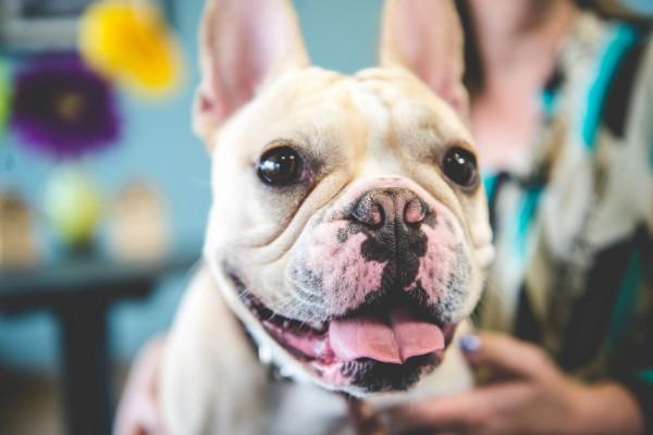 © BG Productions | Daily Dog Tag | smiling-French-bulldog
