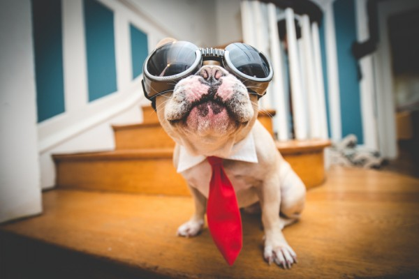© BG Productions | Daily Dog Tag | Frenchie-in-goggles-and-tie