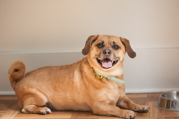 Daily Dog Tag | Theo the #Puggle