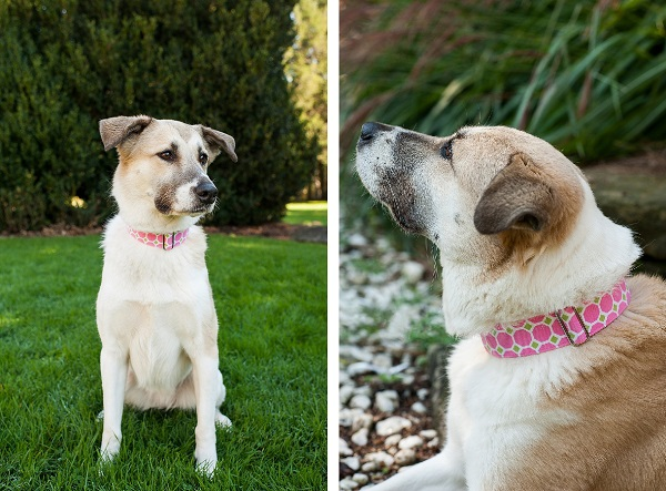 © Jenny Karlsson Photography | Daily Dog Tag | Pretty-in-pink-Pyrenees-mixed-breed