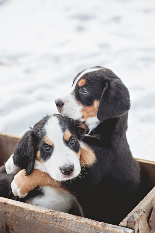 © Custom by Nicole Photography | Daily Dog Tag | Adorable-Swiss-Mountain-Dog-puppies-in-snow