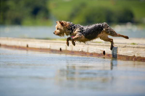 © Right Start Photography | Daily Dog Tag | Yorkie-jumping-into lake