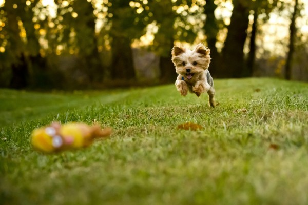 © Right Start Photography | Daily Dog Tag | Yorkie-playing-Fetch