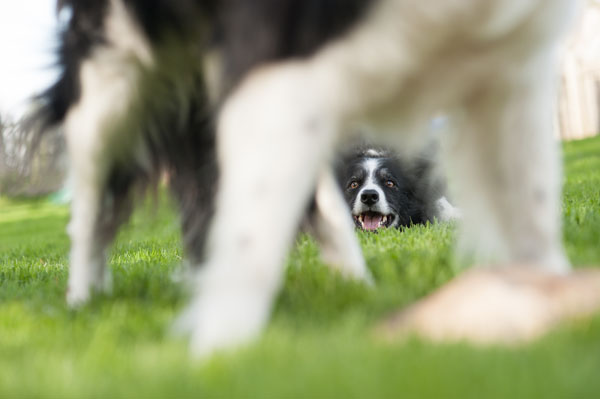© Alice G Patterson Photography | Daily Dog Tag | Syracuse-Dog-Photographer, Senior-Border-Collie