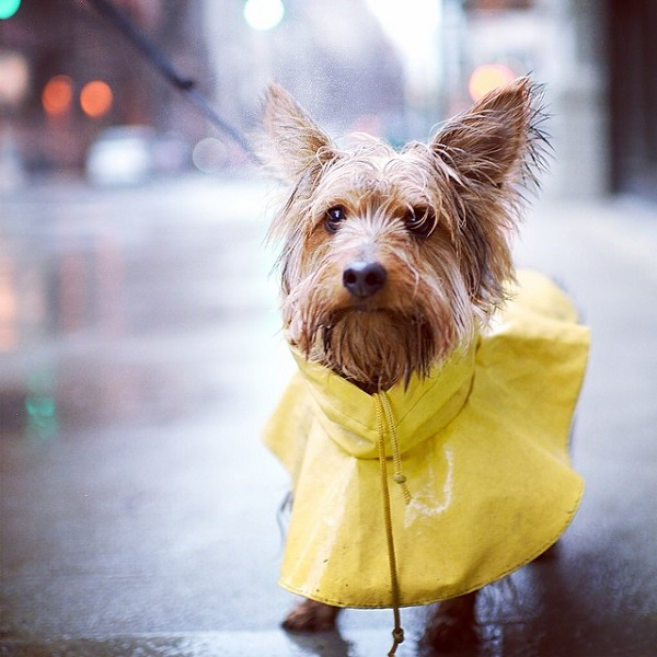 © The Dogist | Daily Dog Tag |Yorkshire-Terrier-in-rain-poncho