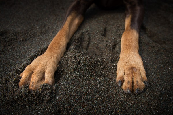 © Frame Your Pet | Daily Dog Tag | Doberman-paws-in-sand, lifestyle-dog-photography