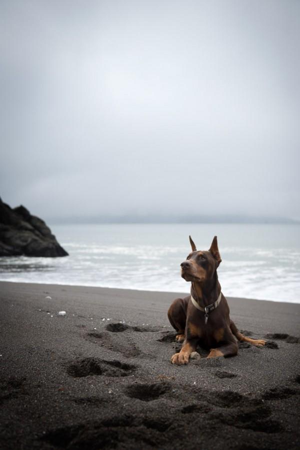 © Frame Your Pet | Daily Dog Tag | Doberman-SF-beach