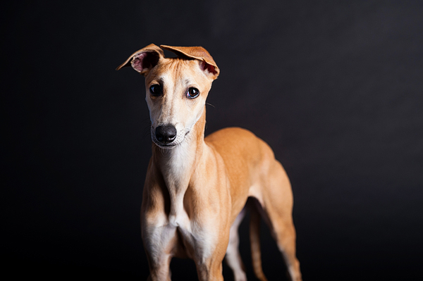 © Emilee Fuss Photography | Daily Dog Tag | Whippet, studio-dog-portraits