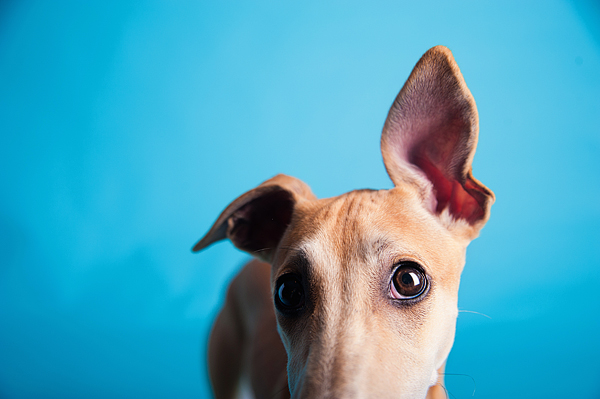 © Emilee Fuss Photography | Daily Dog Tag |crazy-ears- Whippet, studio-dog-portraits