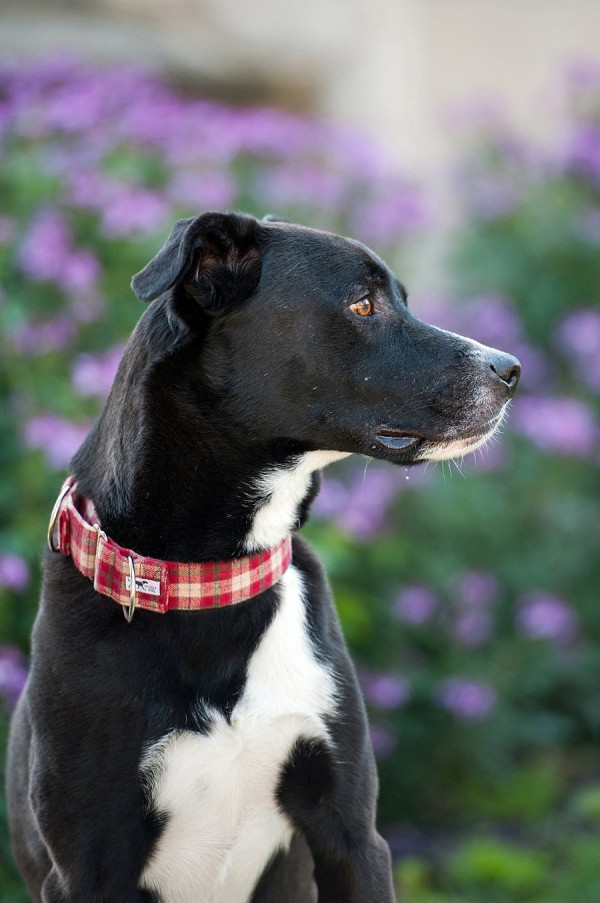 © Jenny Karlsson Photography | Daily Dog Tag |  Handsome-black-dog-in-red-collar
