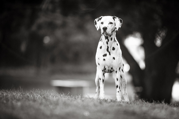 © Charlotte Reeves Photography | Daily Dog Tag | Lovely-black-white-pet-portraits, spotted-dog, Dalmatian