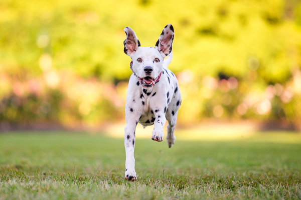 © Charlotte Reeves Photography | Daily Dog Tag |Running-Dalmatian, action-dog-photos