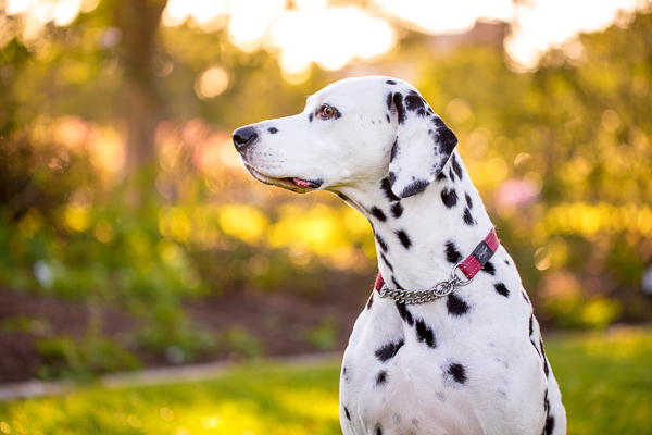 © Charlotte Reeves Photography | Daily Dog Tag | Gorgeous-Dalmatian, AU-dog-photographer