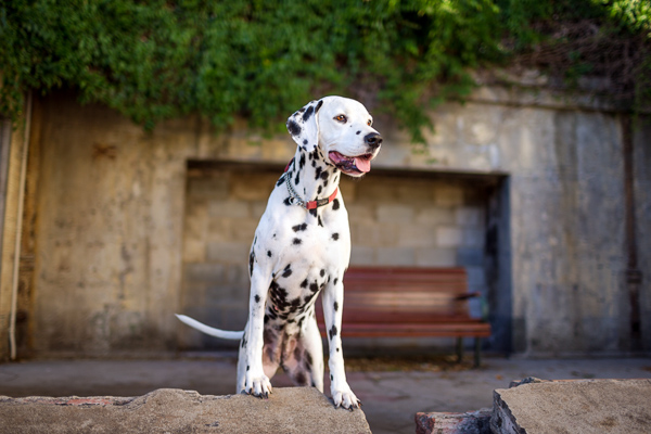 © Charlotte Reeves Photography | Daily Dog Tag | Dalmatian, modern-on-location-photographer