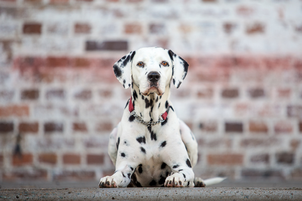 © Charlotte Reeves Photography | Daily Dog Tag | gorgeous #Dalmatian