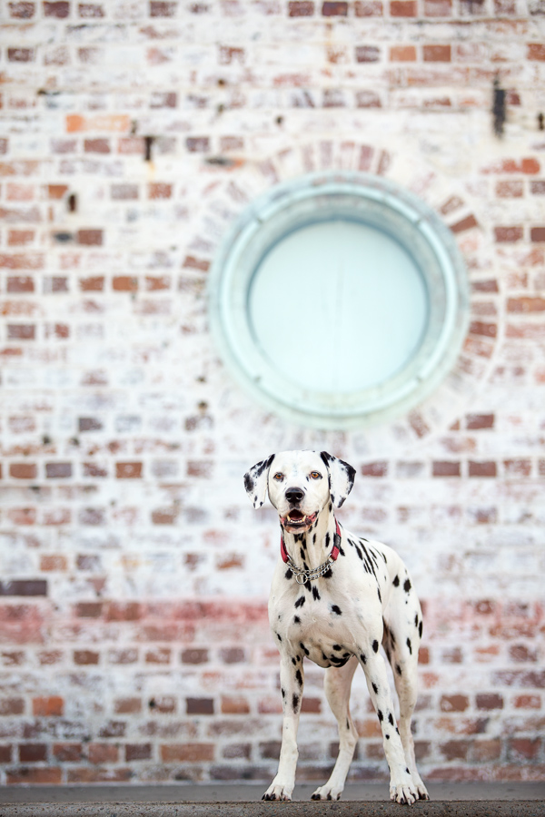 © Charlotte Reeves Photography | Daily Dog Tag | Dalmatian, urban-dog-photography