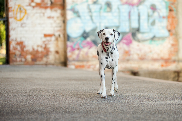 © Charlotte Reeves Photography | Daily Dog Tag |Dalmatian, Learn-Pet-Photography