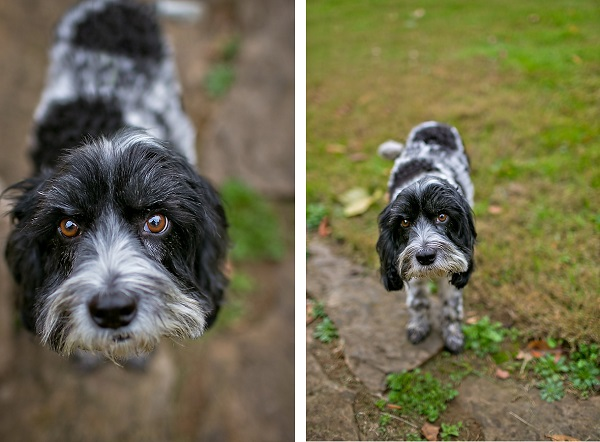 © April Ziegler Photography | Daily Dog Tag | Handsome-Cockapoo, puppy-dog-eyes, pictures of Cockapoos