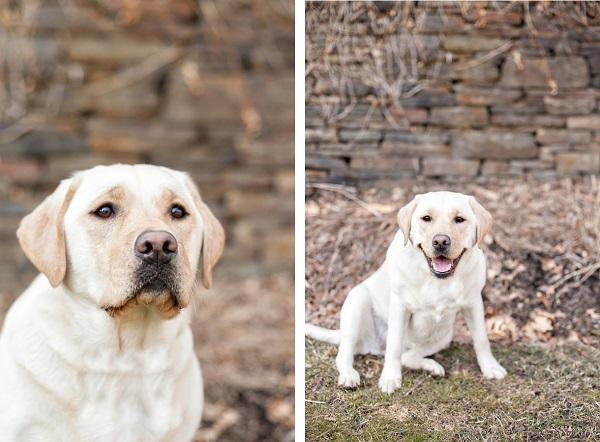 © Paw Prints - Pet Portraits By Charlene | Daily Dog Tag | Yellow-Labrador