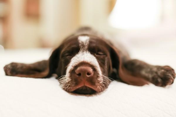 © Cavin Elizabeth Photography | Daily Dog Tag | sleeping-Deutsch-Drahthaar-puppy
