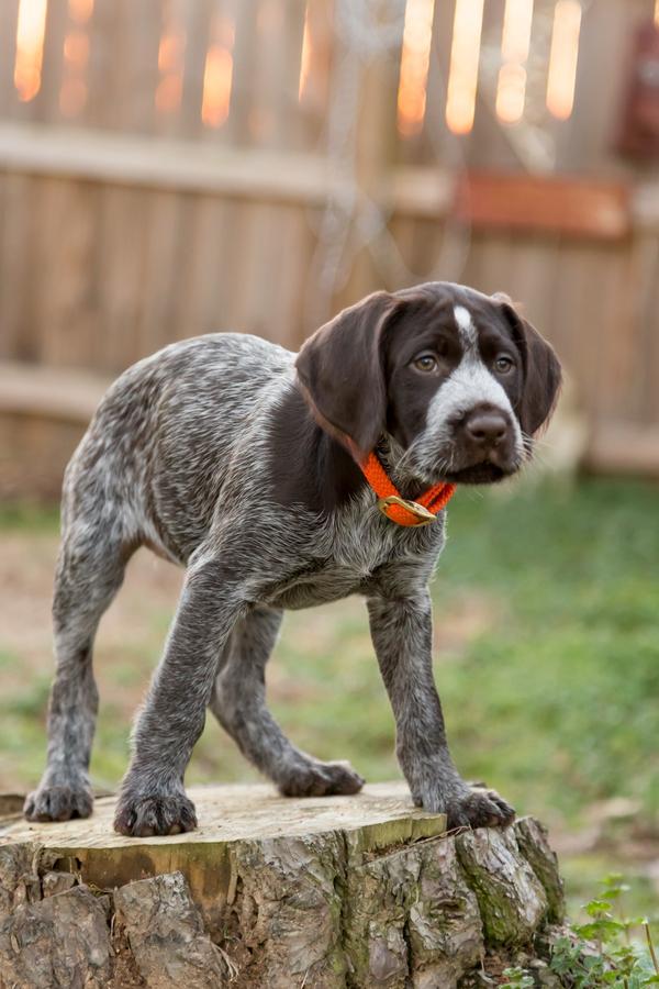 © Cavin Elizabeth Photography | Daily Dog Tag | Deutsch-Drahthaar-puppy, German Wire-Haired Pointer puppy
