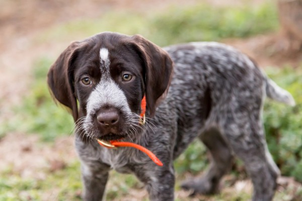 © Cavin Elizabeth Photography | Daily Dog Tag | German-wire-haired-pointer-puppy