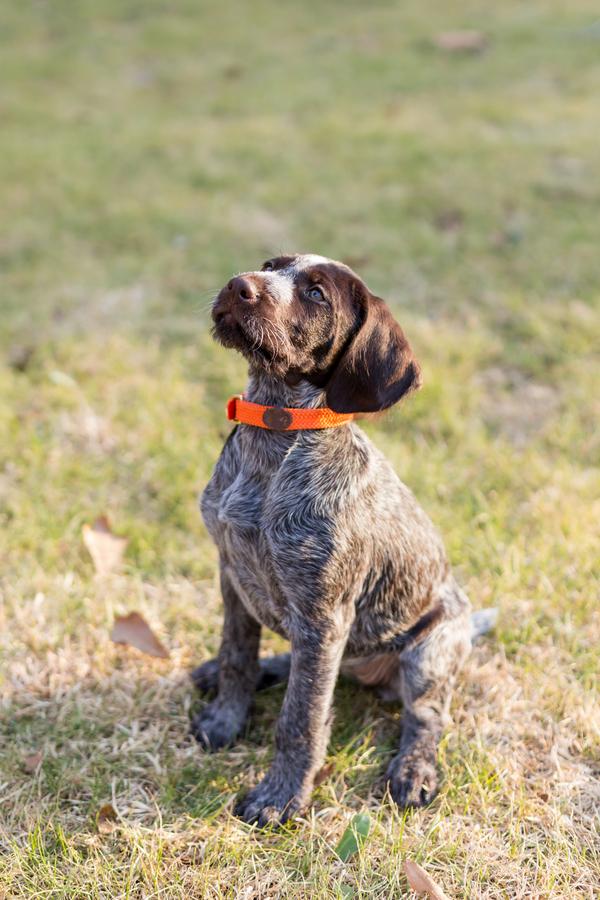 © Cavin Elizabeth Photography | Daily Dog Tag | Deutsch-Drahthaar-puppy
