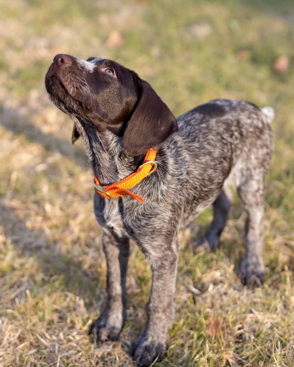 © Cavin Elizabeth Photography | Daily Dog Tag | Deutsch-Drahthaar-puppy-Washington-DC-dog-photographer