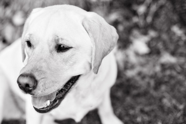© Paw Prints - Pet Portraits By Charlene | Daily Dog Tag |  Yellow-Labrador-on-location-pet-photography