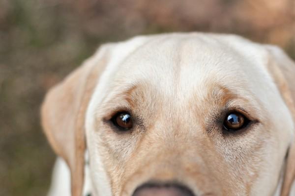 © Paw Prints - Pet Portraits By Charlene | Daily Dog Tag | Yellow-Labrador-Retriever, Lifestyle-Dog-Photography