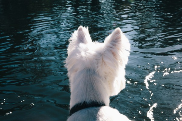 © D Lillian Photography | Daily Dog Tag | Westie-at-pond