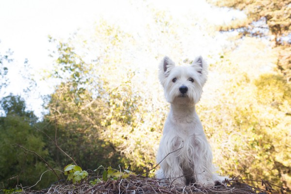 © D Lillian Photography | Daily Dog Tag | Adorable-Westie, SF-Lifestyle-Photography
