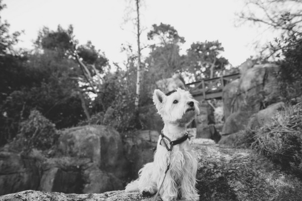 © D Lillian Photography | Daily Dog Tag | Handsome-Westie, Golden-Gate-Park