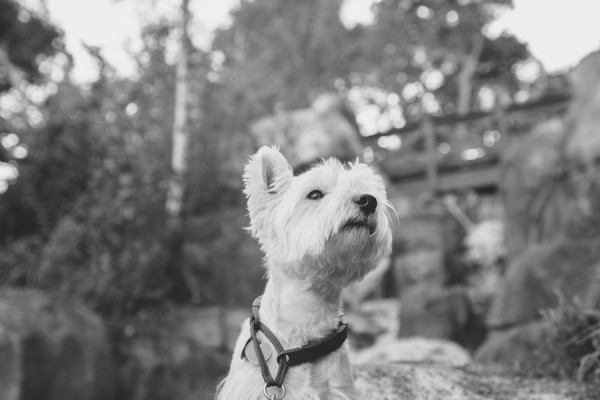 © D Lillian Photography | Daily Dog Tag | Handsome-Westie