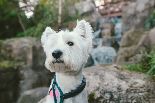 © D Lillian Photography | Daily Dog Tag | Westie