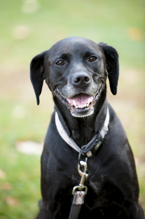 © Julia Jane Studios | Daily Dog Tag | Happy-Black-Lab-Boxer-mix