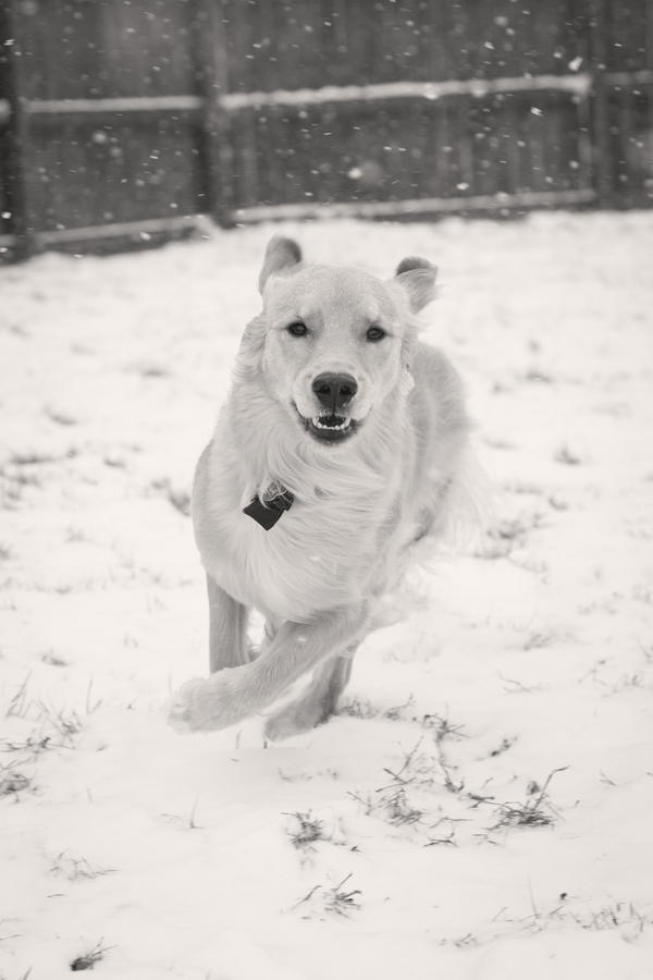 © HMK Photography | Golden-Retriever-playing-in-snow, lifestyle-pet-photography, snowy-black-white-dog-photos