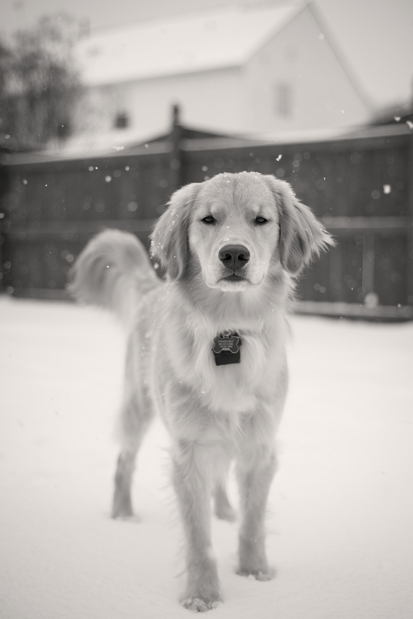 © HMK Photography | dog in snow, NC wedding and pet photographer