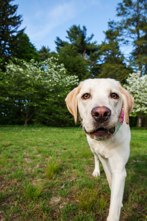 © Kathryn Schauer Photography | Daily Dog Tag | Yellow-Lab, outdoor-pet-photography