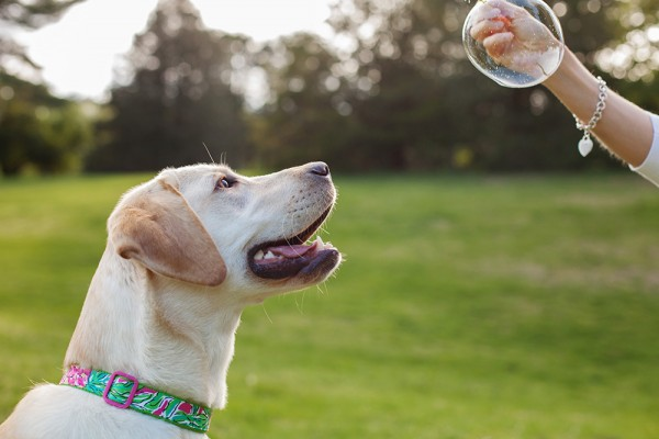 © Kathryn Schauer Photography | Daily Dog Tag | Yellow-Lab-waiting-for-bubble