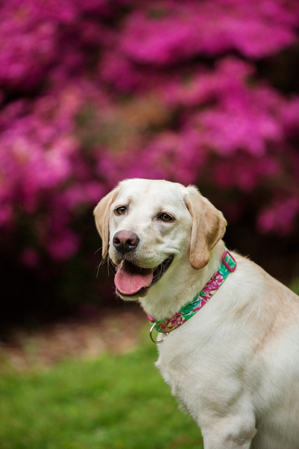 © Kathryn Schauer Photography | Daily Dog Tag | Yellow-Lab-pretty-in-pink