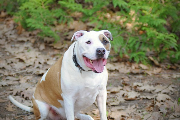 © Jessica Painter Photography   Daily Dog Tag   Handsome-Pit-bull, On-location-pet-photography