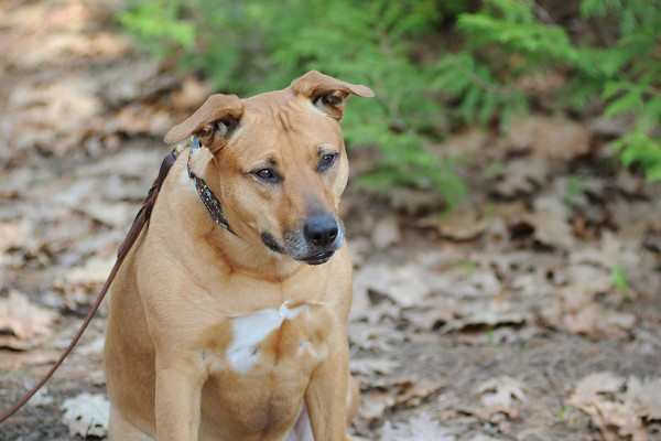 © Jessica Painter Photography   Daily Dog Tag  Tan-Pit-bull-mix, Albany-pet-photographers